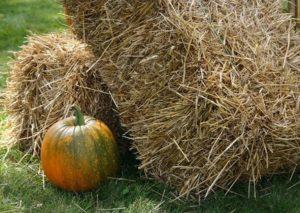 Greenish pumpkin stalk